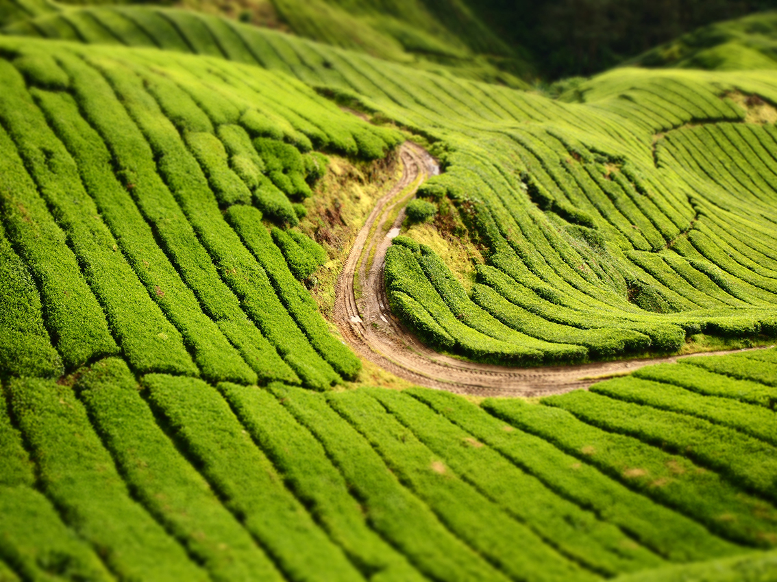 malaysia_Cameron_highlands.jpg